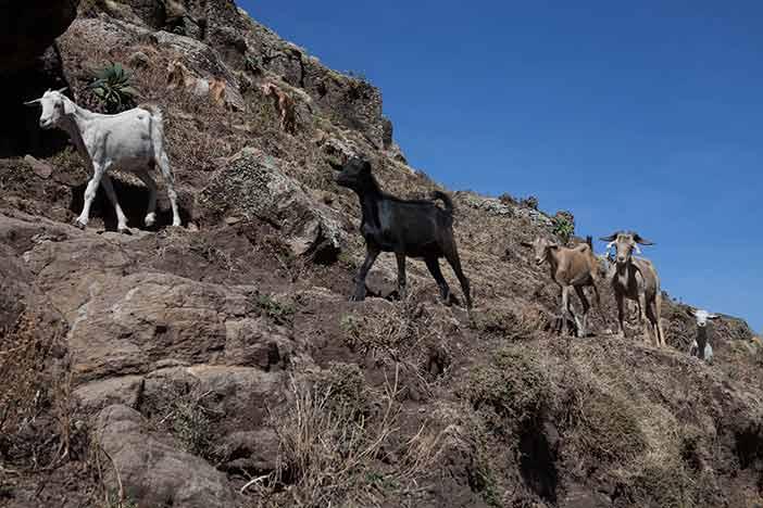 The tricky goats.