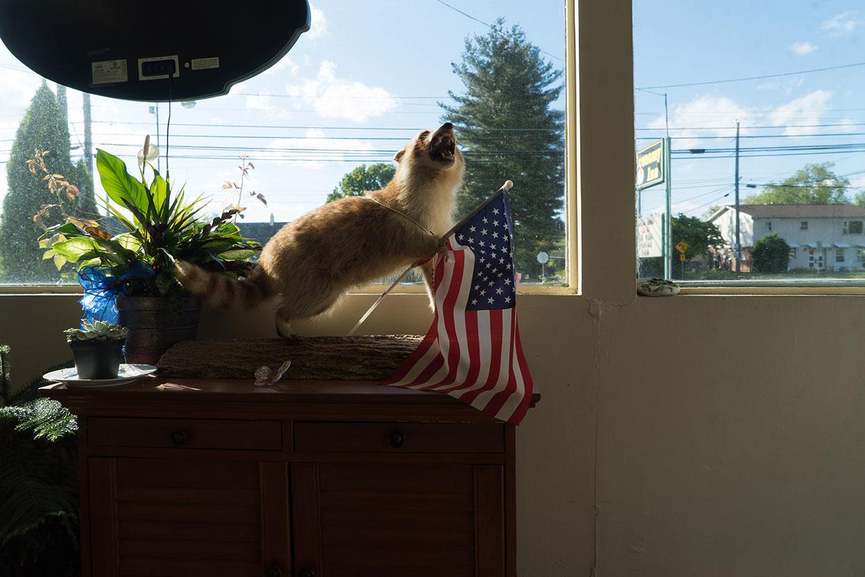 Raccoon in the Window Virginia